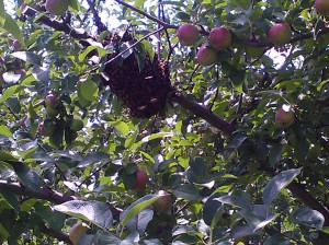 our honey bees in our apple tree